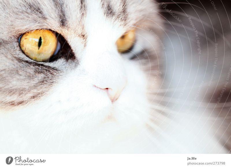 *Merle* Tier Haustier Katze Tiergesicht Perserkatze 1 Jagd Blick kuschlig gelb grau schwarz weiß Farbfoto Außenaufnahme Nahaufnahme Makroaufnahme Tag High Key