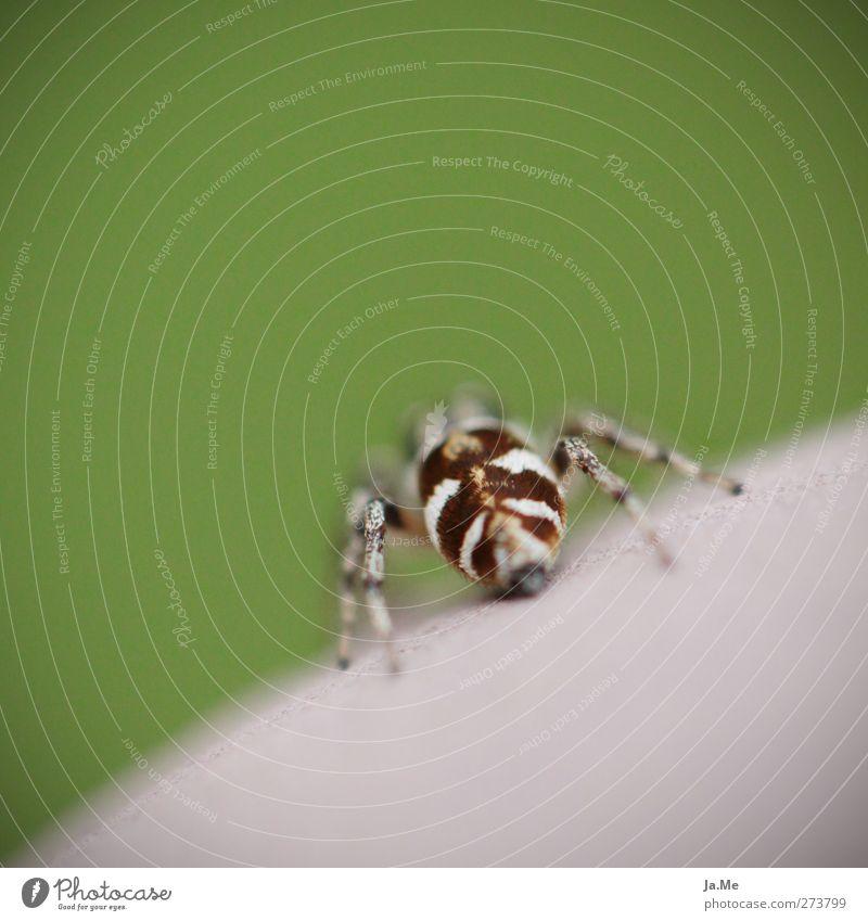 Das Zebra im Garten grün Tier braun Wildtier exotisch Spinne Zebraspringspinne