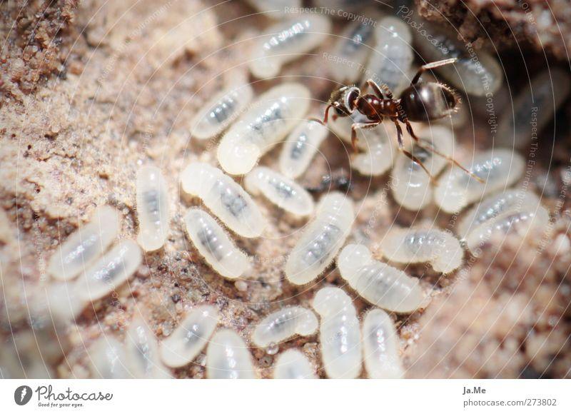 Die Qual der Wahl... weiß Tier braun Arbeit & Erwerbstätigkeit Wildtier Tiergruppe wählen Ameise Larve Ameisenhügel