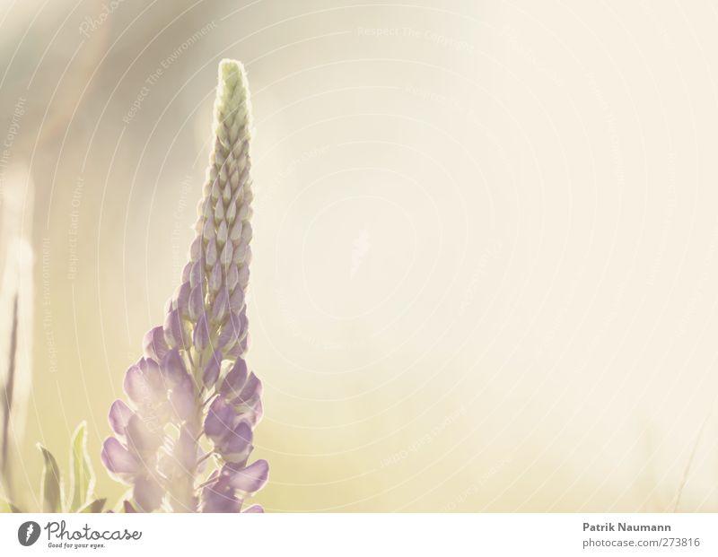 Lupinus polyphyllus Umwelt Natur Pflanze Tier Sonnenaufgang Sonnenuntergang Sonnenlicht Sommer Klimawandel Schönes Wetter Gras Blüte Wildpflanze Lupinenblüte