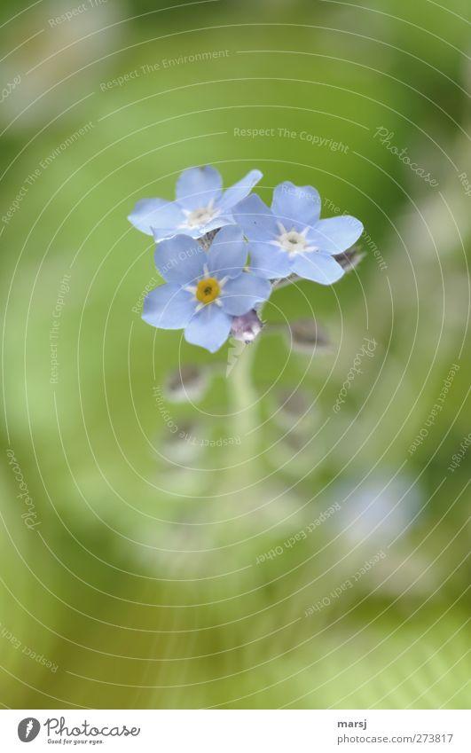 Bitte! Vergiß mein nicht Natur Pflanze Frühling Sommer Blume Blüte Grünpflanze Wildpflanze Vergißmeinnicht Blühend Duft leuchten authentisch einfach elegant