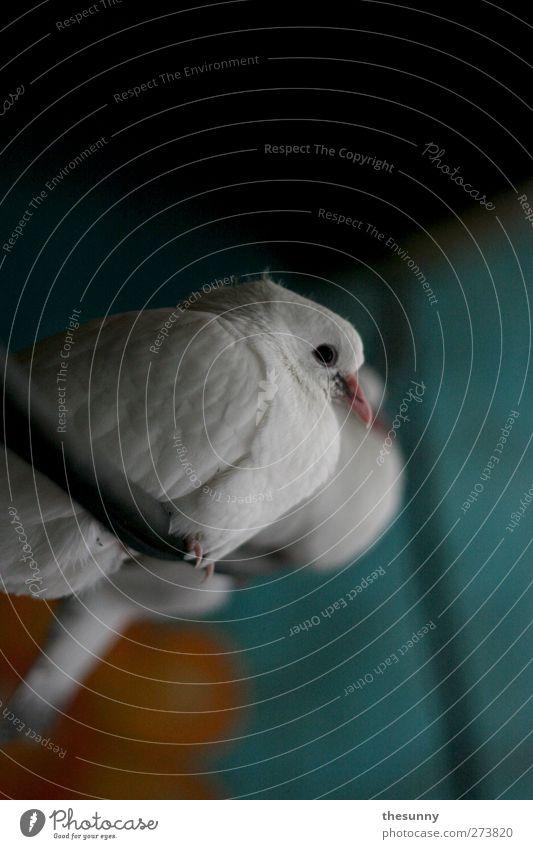 lochauge blau weiß schön Tier Farbe ruhig Leben Stimmung orange Zufriedenheit sitzen warten elegant frei niedlich beobachten