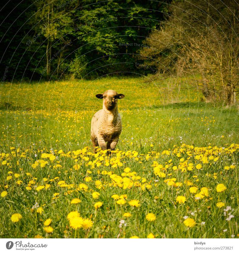 Solist Natur grün Sommer Tier Wald gelb Frühling frei frisch stehen beobachten Schönes Wetter Weide Löwenzahn Schaf Wachsamkeit