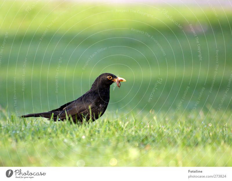 Frühstück Umwelt Natur Pflanze Tier Sommer Gras Garten Park Wiese Wildtier Vogel Flügel 1 hell natürlich Amsel Regenwurm Männchen Fressen Nahrungssuche Futter