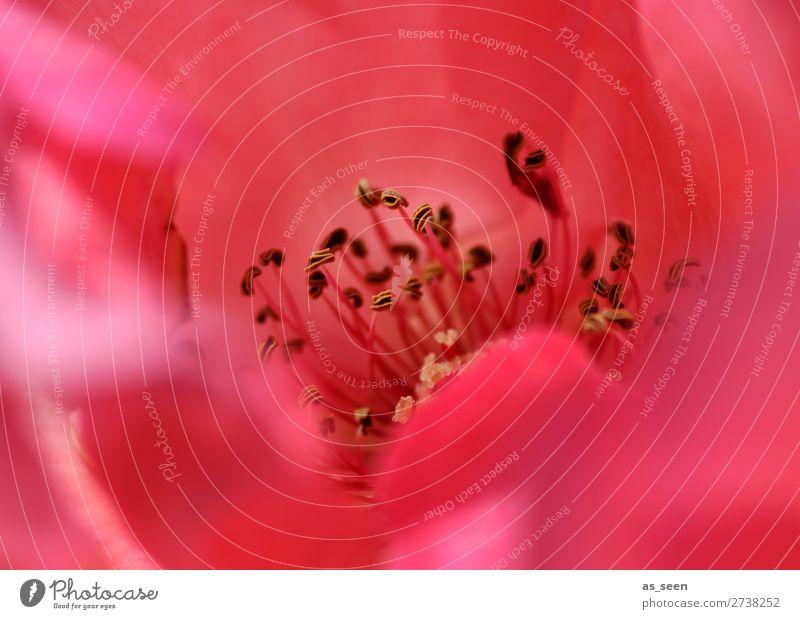 Rote Rose Lifestyle Wellness Leben harmonisch Wohlgefühl Duft Valentinstag Muttertag Umwelt Natur Pflanze Frühling Sommer Blume Blühend ästhetisch Erotik