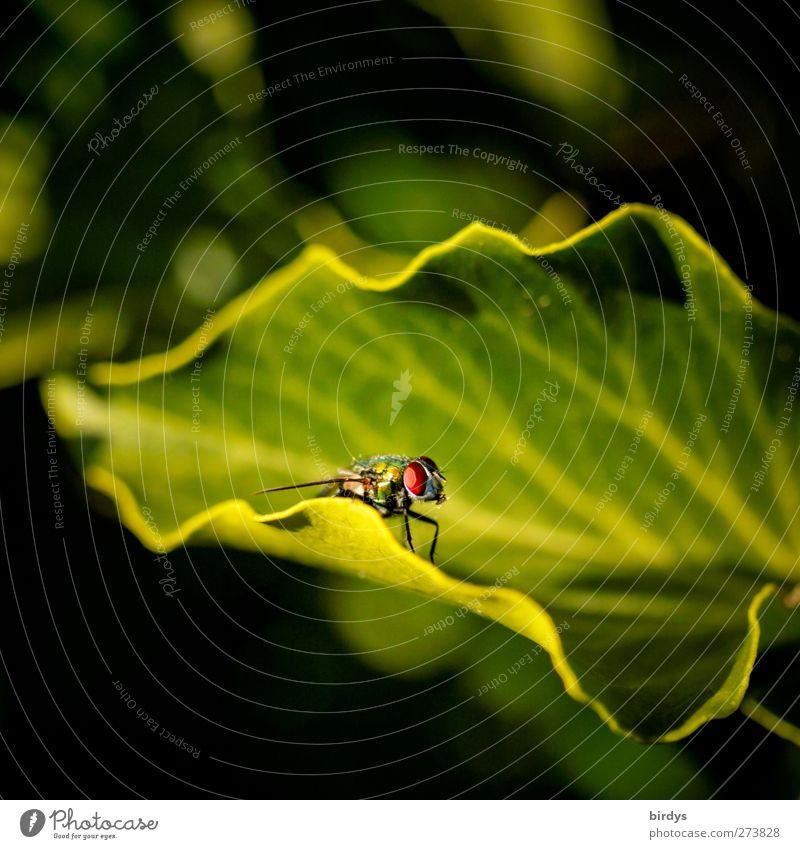 nur Fliegen sind schöner Natur grün Tier Blatt gelb Fliege ästhetisch beobachten Insekt Blattadern wellig Blattschatten