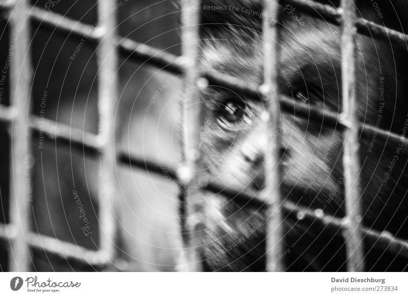 Nimmst du mich mit? Tier Auge Traurigkeit Wildtier Fell Tiergesicht Zoo gefangen Gitter Affen Mitgefühl Käfig Grauwert eingeschlossen Kapuzineraffen