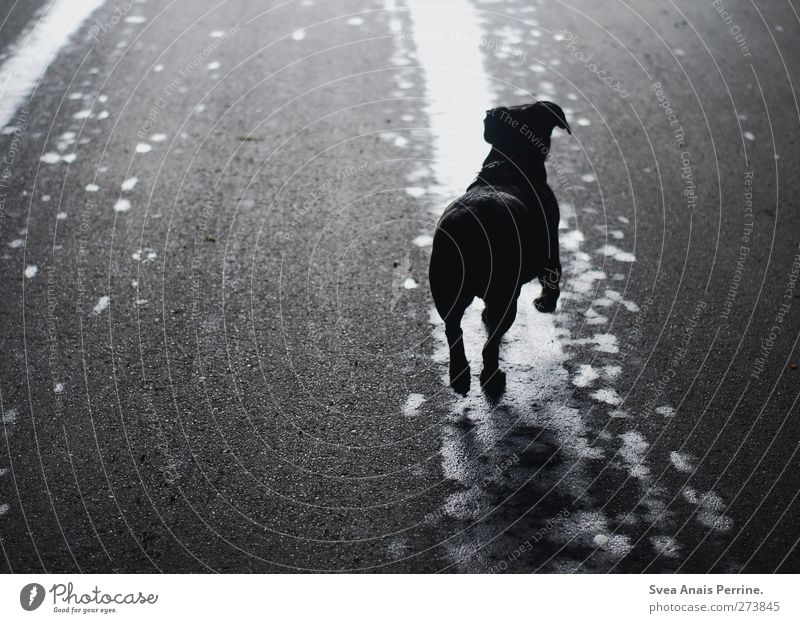 . Hund Tier Straße springen nass Asphalt Haustier Pfütze
