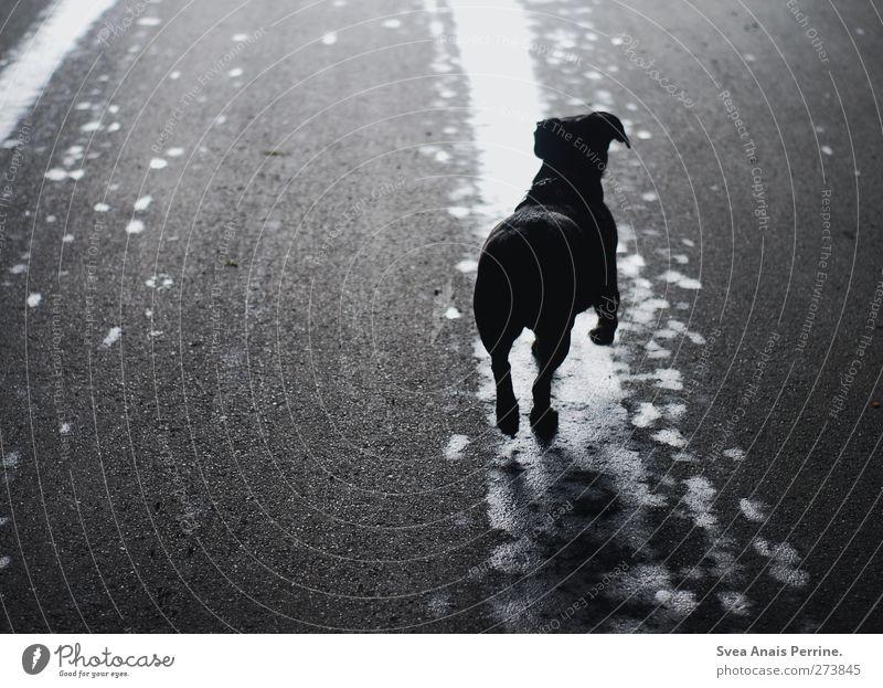 . Straße Asphalt Tier Haustier Hund 1 Bewegung springen dunkel nass Stadt Frühlingsgefühle Vertrauen Pfütze Silhouette Farbfoto Gedeckte Farben Außenaufnahme