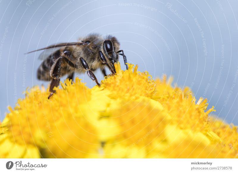 Biene im gelben Meer Leben Sommer Umwelt Natur Tier Frühling Schönes Wetter Grünpflanze Garten Park Wald Wildtier 1 Arbeit & Erwerbstätigkeit Blühend