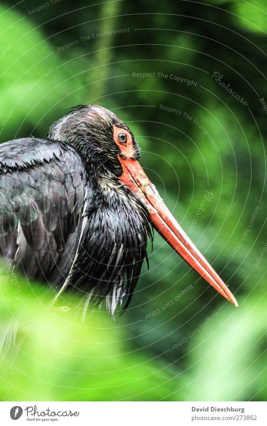 Schwarzstorch Tier Wildtier Vogel 1 grün rot schwarz Schnabel Feder gefiedert Indirektes Licht Flügel Zoo Auge Kopf sitzen Storch Farbfoto Außenaufnahme