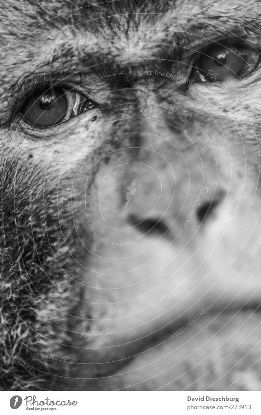 Den Tränen nah Tier Auge Traurigkeit Wildtier Nase Fell Tiergesicht Sehnsucht Zoo Gesichtsausdruck direkt gefangen Bildausschnitt ernst Hilfsbedürftig Affen