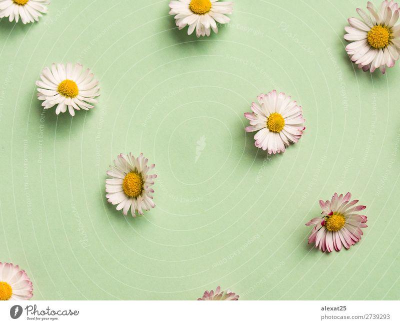 Gänseblümchenmuster schön Sommer Dekoration & Verzierung Natur Pflanze Frühling Blume Gras Blüte frisch natürlich gelb grün weiß Hintergrund Beautyfotografie