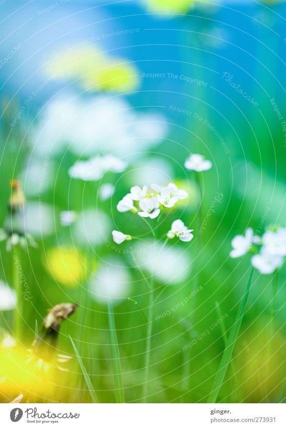 Die Farben des diesjährigen Frühlings Umwelt Natur Pflanze Schönes Wetter Blume Gras Blatt Blüte Wildpflanze Wiese blau mehrfarbig gelb grün weiß Wiesenblume