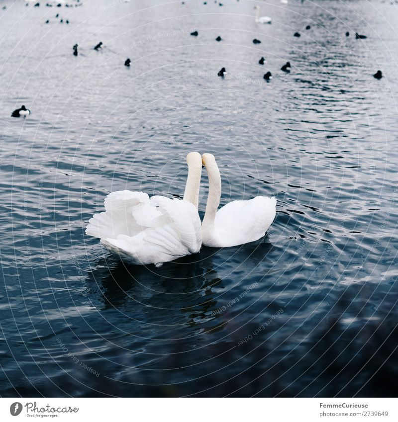2 loving looking swans in pond Tier Natur Schwan Vogel Entenvögel Teich Wasser Liebe Verliebtheit Feder Metallfeder weiß Im Wasser treiben Farbfoto