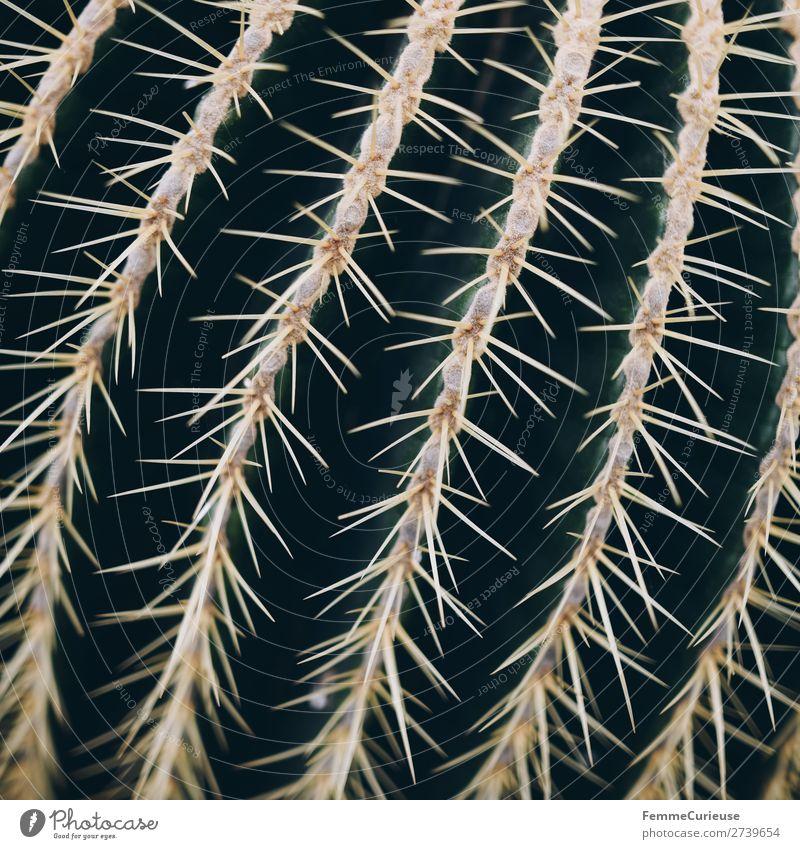 Close-up of the spines of a cactus Natur Pflanze grün Spitze stachelig Kaktus Stachel