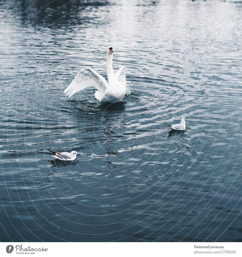 A swan in a pond flapping its wings Natur Tier Schwan Feder weiß Teich See Im Wasser treiben Vogel Farbfoto Außenaufnahme Textfreiraum unten Zentralperspektive