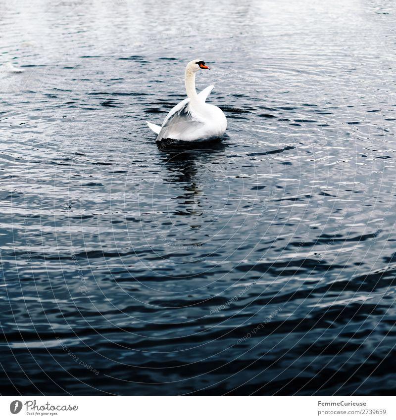 A swan in a pond flapping its wings Natur Tier 1 Schwan See Teich Farbfoto Außenaufnahme Textfreiraum unten Zentralperspektive
