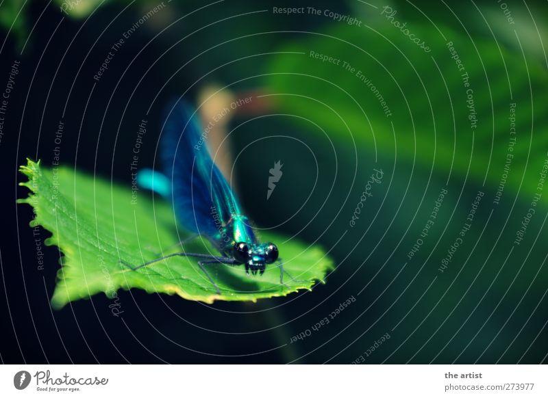libella Tier Libelle 1 blau grün Frühlingsgefühle Stolz Natur Insekt Nahaufnahme Flügel mehrfarbig Außenaufnahme