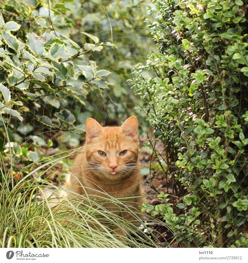 Kater Pflanze Sträucher Buchsbaum Ilex Gras Garten Haustier Katze 1 Tier braun gelb grün rosa weiß Hauskatze rothaarig Katzenzunge Schlitzauge Schnurrhaar Fell