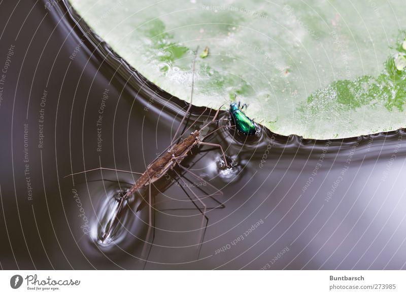 Aufeinander-Treffen Natur Wasser Pflanze Tier Blatt Schwimmen & Baden Tierpaar laufen bedrohlich berühren fangen Bach Teich tragen Käfer krabbeln