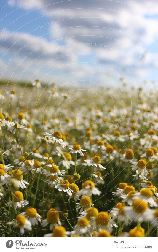 Ka Mill Natur Pflanze Himmel Wolken Sommer Schönes Wetter Blüte Grünpflanze Nutzpflanze Feld Unendlichkeit positiv blau gelb grün weiß Erholung Kamille Farbfoto