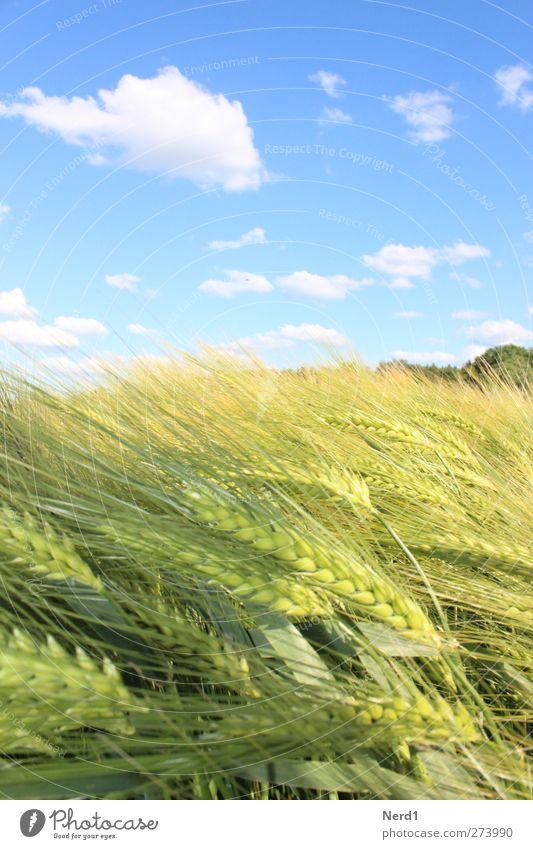 korn Umwelt Natur Himmel Wolken Sommer Schönes Wetter Nutzpflanze Feld blau gelb grün weiß Idylle Kornfeld Farbfoto Außenaufnahme Menschenleer Freisteller Tag