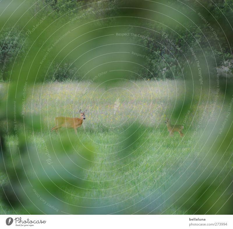 Spannerperspektive Umwelt Natur Pflanze Gras Sträucher Blatt Grünpflanze Wildpflanze Wiese Feld Wald Tier Wildtier 2 Tierjunges Tierfamilie Blick stehen
