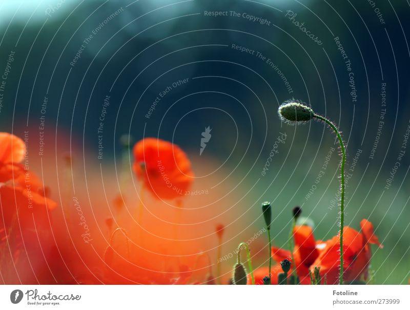 Ein Traum von Rot Natur grün schön Sommer Pflanze rot Blume Umwelt Wärme Blüte Garten Park Feld natürlich Mohn Blütenknospen