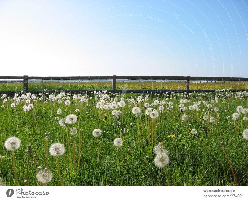 Löwenzahn auf der Wiese Natur Blume grün Gras Garten Landschaft Graffiti Feld Zaun Blauer Himmel