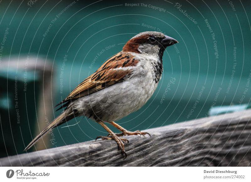 Wie ausgestopft grün schön Tier grau Vogel braun Wildtier stehen Feder Flügel Körperhaltung festhalten Lebewesen Tiergesicht Schnabel Spatz