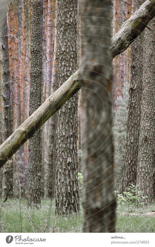 der quertreiber Natur Pflanze Baum Baumstamm Wald Holz dunkel braun grün Neigung diagonal Individualist gegeneinander nicht mainstream außergewöhnlich umfallen