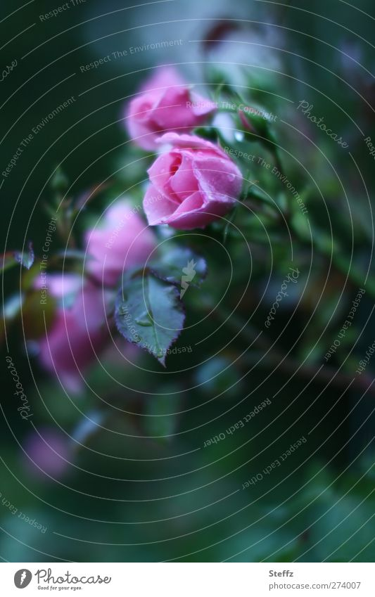 eine Rose ist Gartenrose Rosenblüte außergewöhnlich dunkelgrün Rosenblätter Rosengarten blühende Rose duften blühende Blume Regen duftend Gartenblume Duft