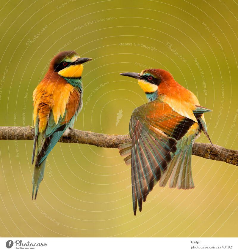 Ein Paar Bienenfresser, die auf einem Ast sitzen. Essen schön Umwelt Natur Tier Vogel Liebe wild blau grün schwarz weiß Farbe Tierwelt farbenfroh Thailand