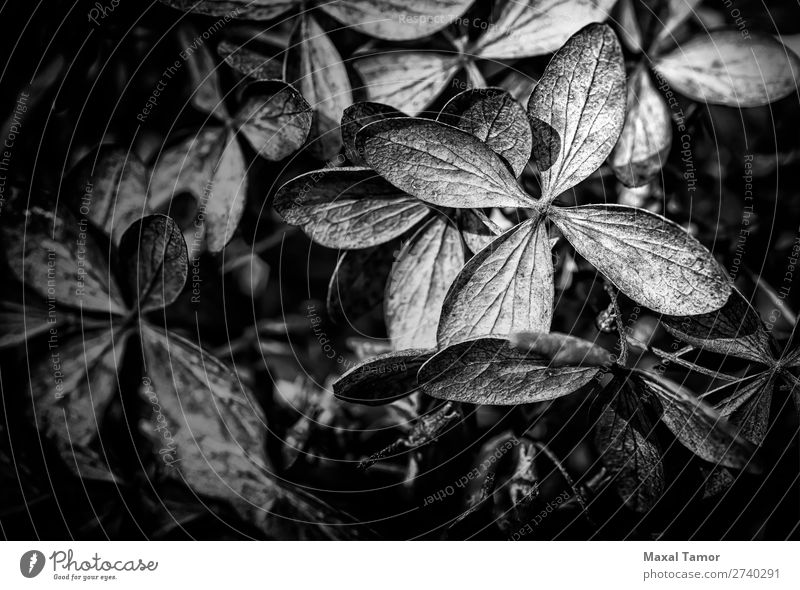 Trockene Hortensien Panikulata schön Winter Garten Dekoration & Verzierung Gartenarbeit Umwelt Natur Pflanze Blume Sträucher Blatt Blüte Park Papier