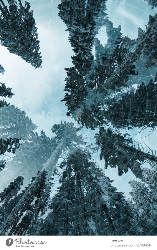 Himmelwärts Umwelt Natur Winter Klima Eis Frost Schnee Baum Wald blau grün weiß nachhaltig Umweltschutz Unendlichkeit Baumkrone groß Riesenbaum Tannenzweig