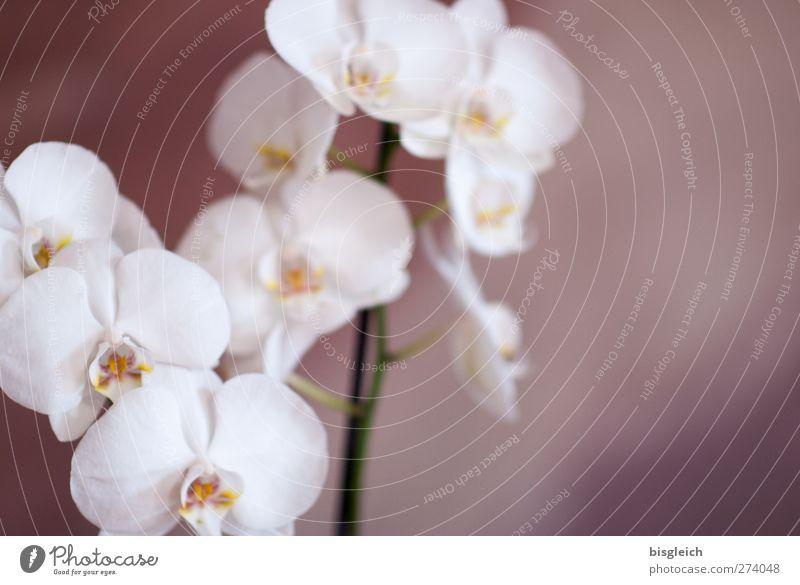 Orchidee Zoo Pflanze Blume Blüte Topfpflanze Blühend braun weiß Intuition Gefühle Romantik Farbfoto Gedeckte Farben Innenaufnahme Menschenleer