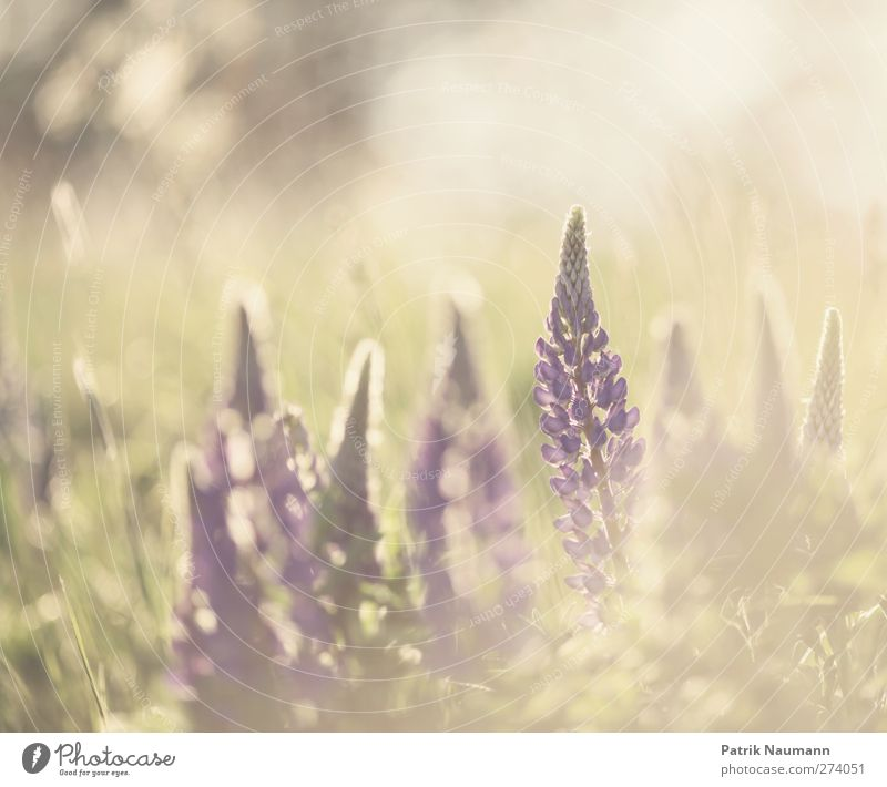 im Fokus Umwelt Natur Pflanze Tier Sonnenlicht Sommer Klimawandel Schönes Wetter Blüte Wildpflanze Lupine Wiese Feld Blühend Duft genießen leuchten ästhetisch