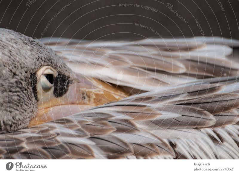 Augenblick II Zoo Tier Vogel Tiergesicht Flügel Feder Pelikan 1 braun weiß achtsam Wachsamkeit Gelassenheit geduldig ruhig Farbfoto Gedeckte Farben