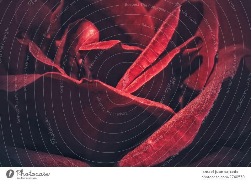 rote Rose p Blume Roséwein Blütenblatt Pflanze Garten geblümt Natur Dekoration & Verzierung romantisch Beautyfotografie Zerbrechlichkeit Hintergrund Frühling