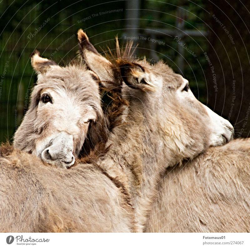 Schmusefreunde ruhig Tier Traurigkeit Gefühle Liebe Stimmung braun träumen Zusammensein Zufriedenheit Tierpaar Trauer Zusammenhalt Tiergesicht Partnerschaft Zoo