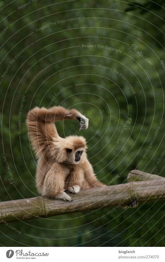 Balance grün Tier braun sitzen Coolness Zoo Gleichgewicht Affen hocken