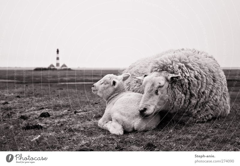 Zweisamkeit schlechtes Wetter Wind Regen Gras Hügel Nordsee Ostsee Turm Leuchtturm Sehenswürdigkeit Tier Nutztier Fell Schaf Lamm 2 Tierjunges Erholung genießen