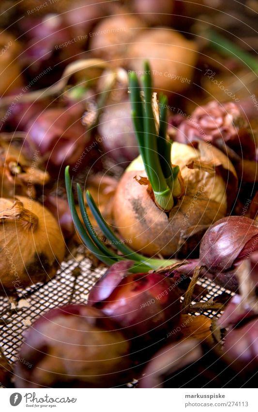 zwiebeln / allium cepa Pflanze Garten Gesundheit wild Lebensmittel Ernährung Gemüse Frühstück Duft Bioprodukte Abendessen Picknick Nutzpflanze Zwiebel Porree Slowfood