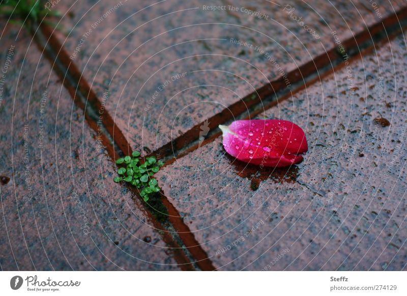 vergänglich schlechtes Wetter Regen Rose Rosenblätter Blütenblatt nass natürlich schön rot Romantik Einsamkeit Traurigkeit Nostalgie Natur Tod Verfall