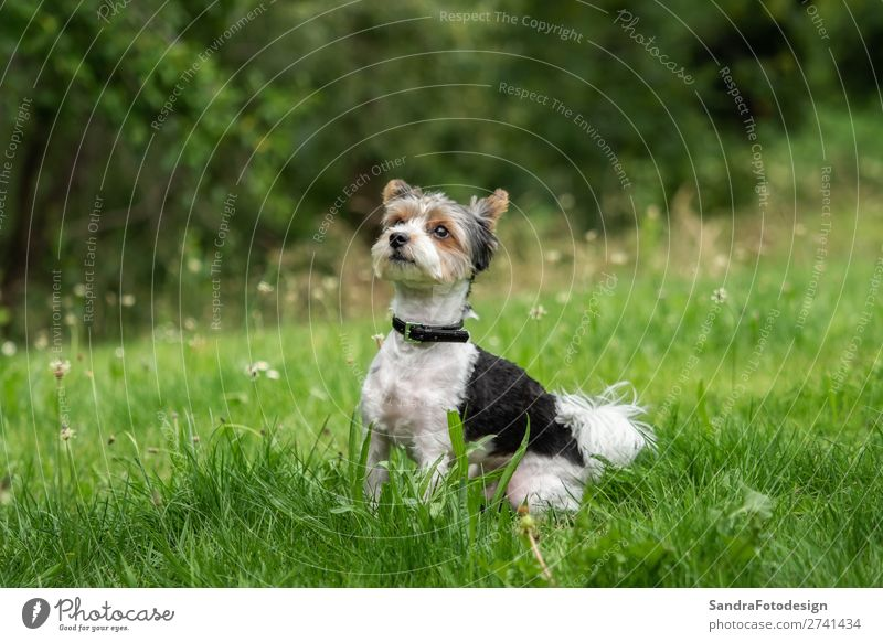 A little terrier with short hair out in the meadow Garten Park Wiese Hund 1 Tier Liebe Tierliebe adorable adorable animal animal themes beautiful breed canine