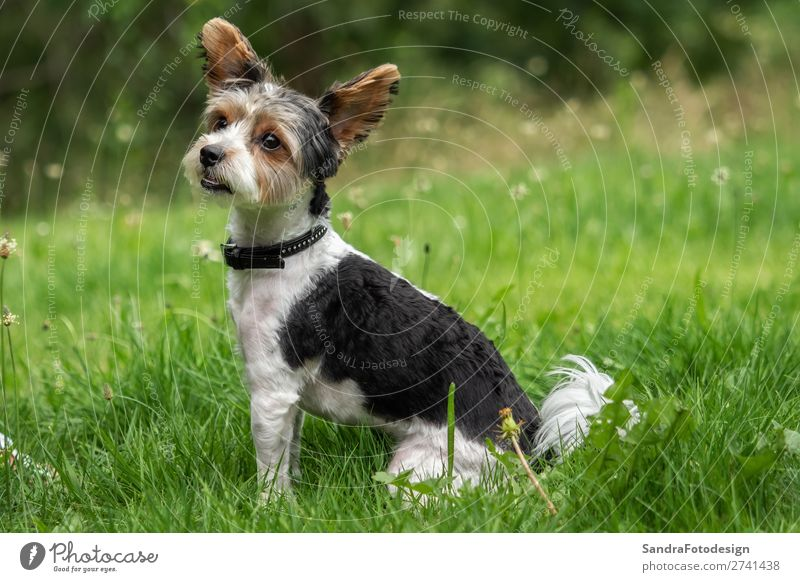 A little terrier with short hair out in the meadow Garten Park Wiese Tier Hund 1 Liebe Tierliebe adorable adorable animal animal themes beautiful breed canine