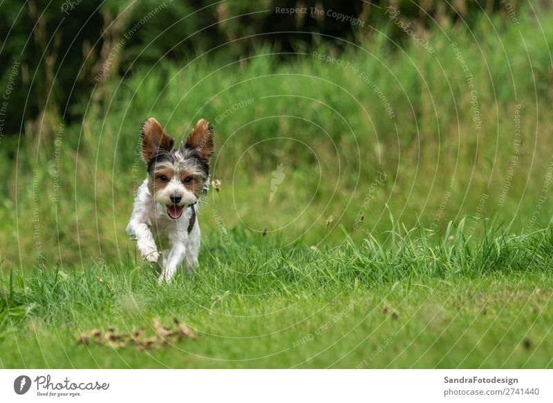 A little terrier with short hair out in the meadow Hund Tierliebe adorable adorable animal animal themes beautiful breed canine cute dog dog school domestic
