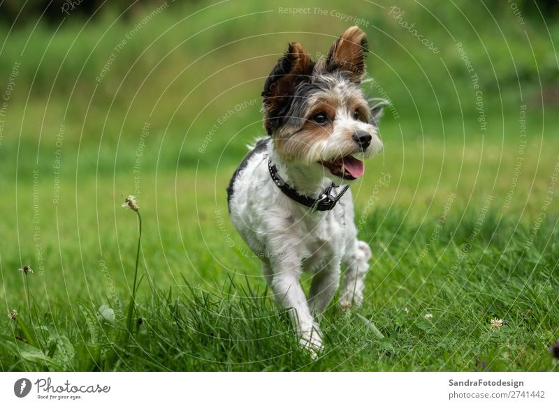 A little terrier with short hair out in the meadow Tier Hund 1 Liebe Tierliebe adorable adorable animal animal themes beautiful breed canine cute dog dog school