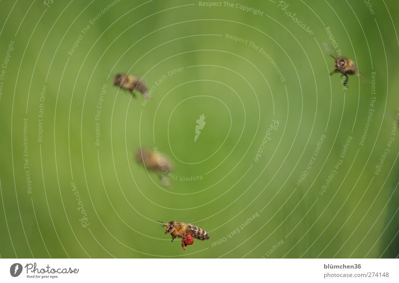 Und diese Biene, die ich meine nennt sich ... schön Tier Beine Arbeit & Erwerbstätigkeit fliegen Ausflug Flügel Insekt Teamwork Völker anstrengen tragen